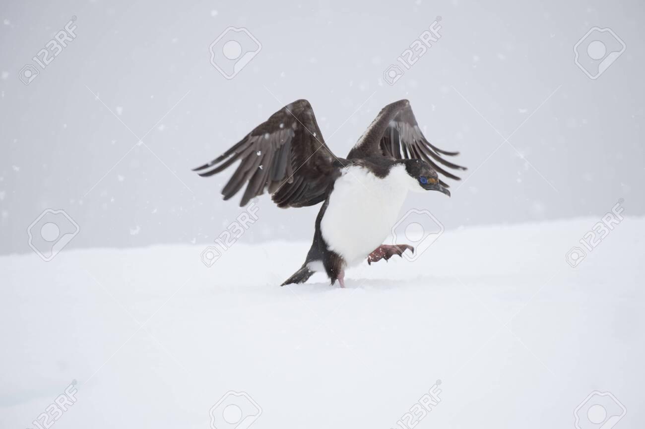 Antarctic Shag on the ice - 144215660