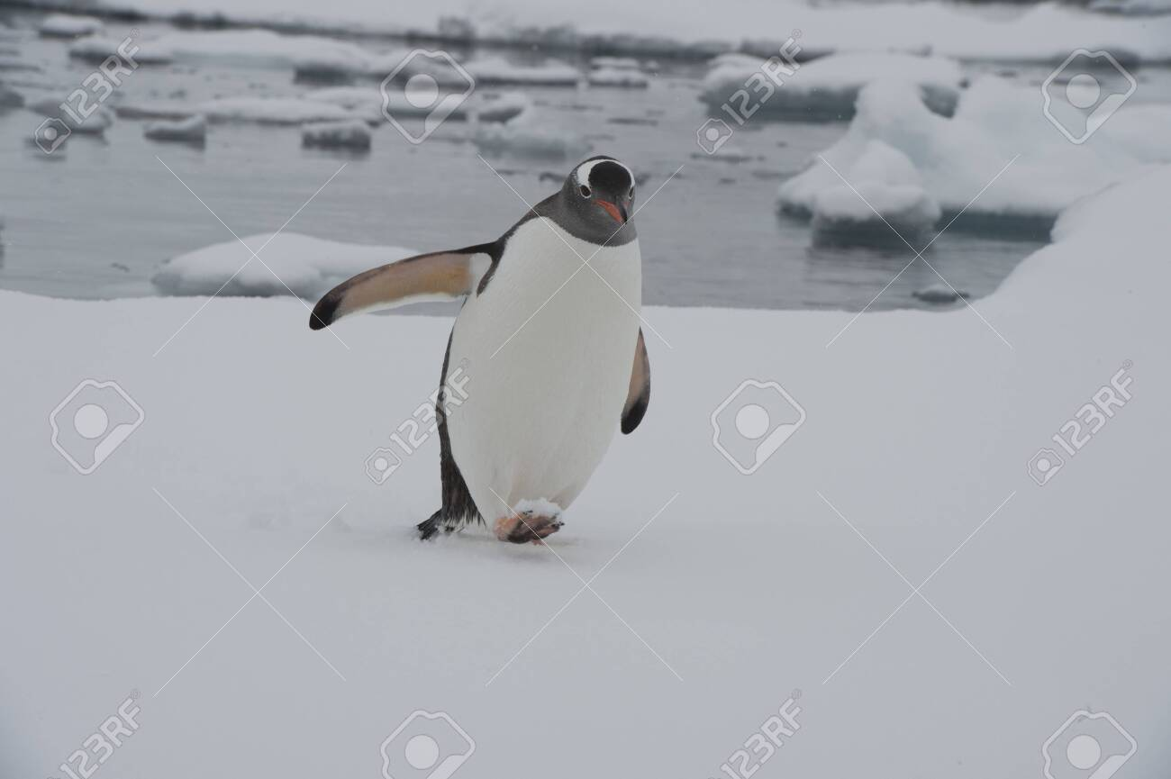 Gentoo Penguin on the ice Cuvervile Island, Antarctica - 142985811
