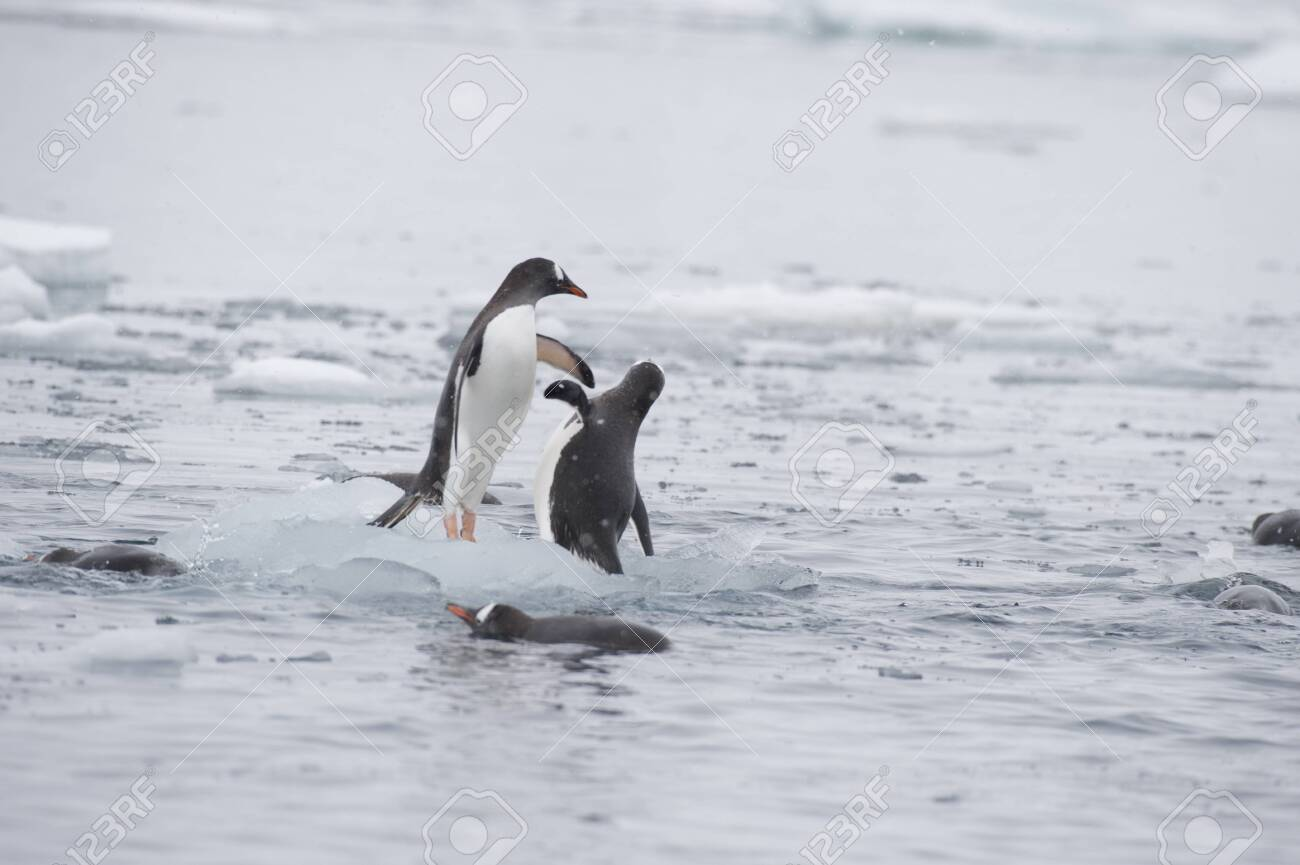 Gentoo Penguins playing on the ice Cuvervile Island, Antarctica - 142985868