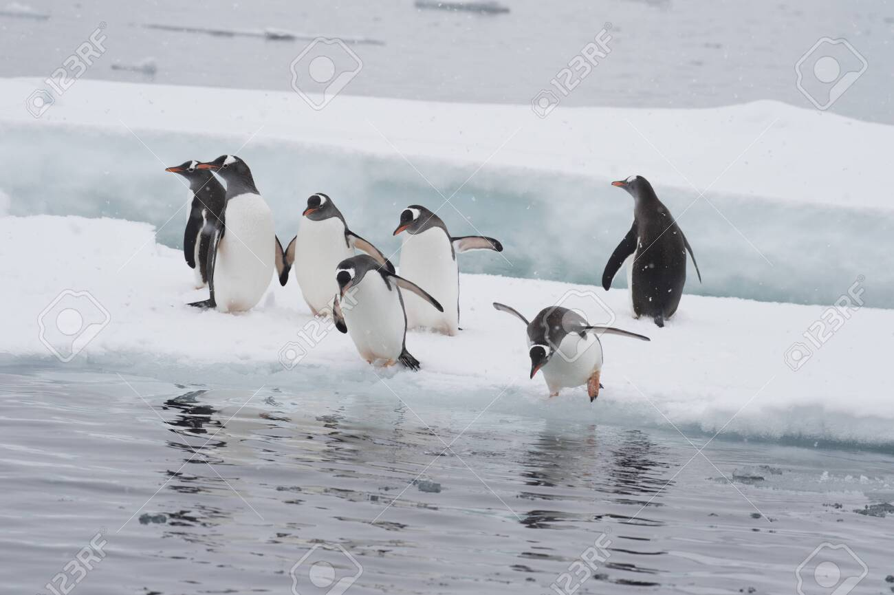 Gentoo Penguins jumping to the water from ice - 142986640