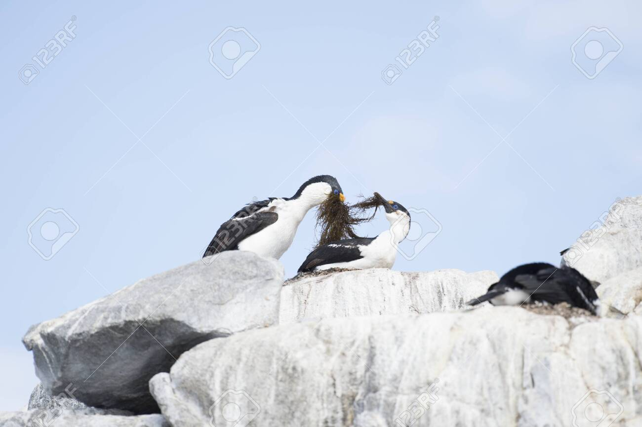 Antarctic Shag on the nest - 144215662