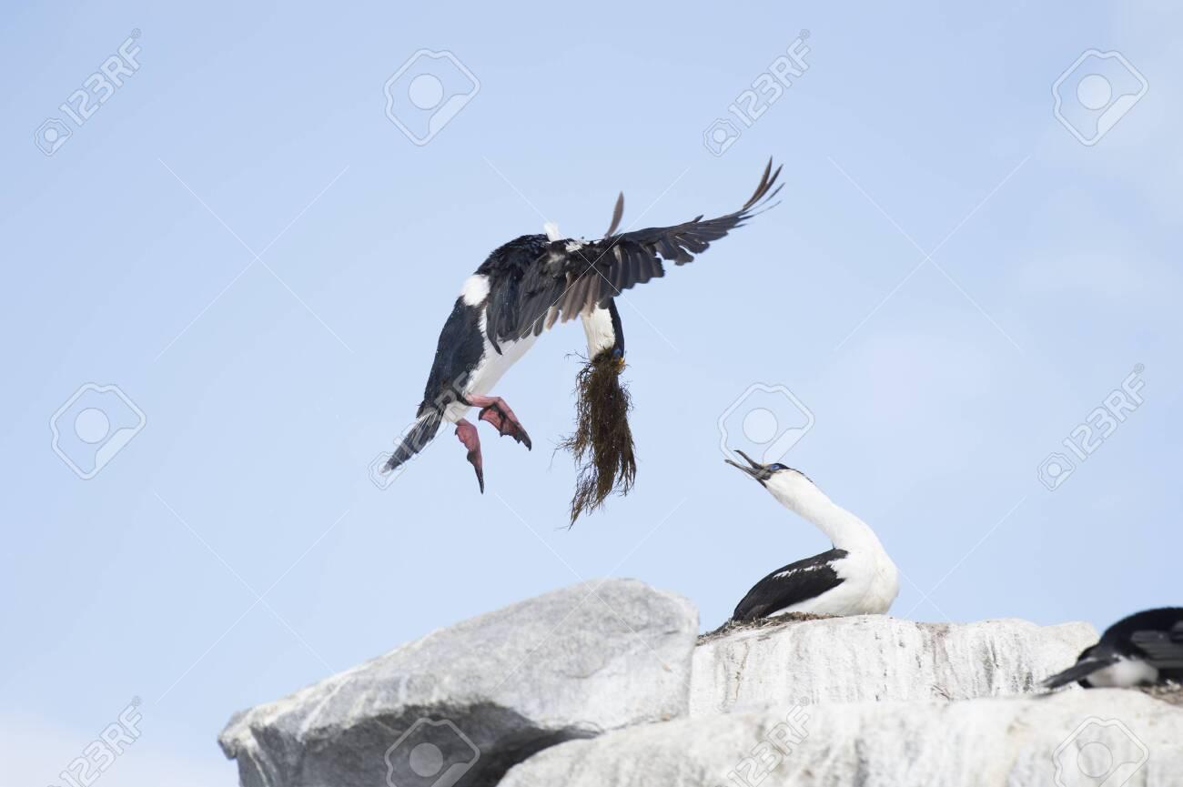 Antarctic Shag on the nest - 144215661