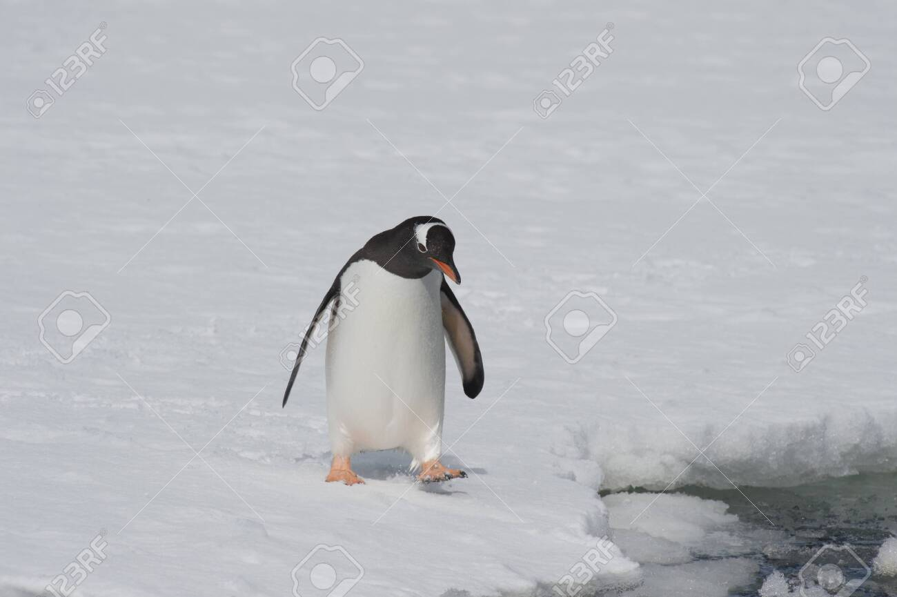 Gentoo Penguin on the ice Cuvervile Island, Antarctica - 142986656