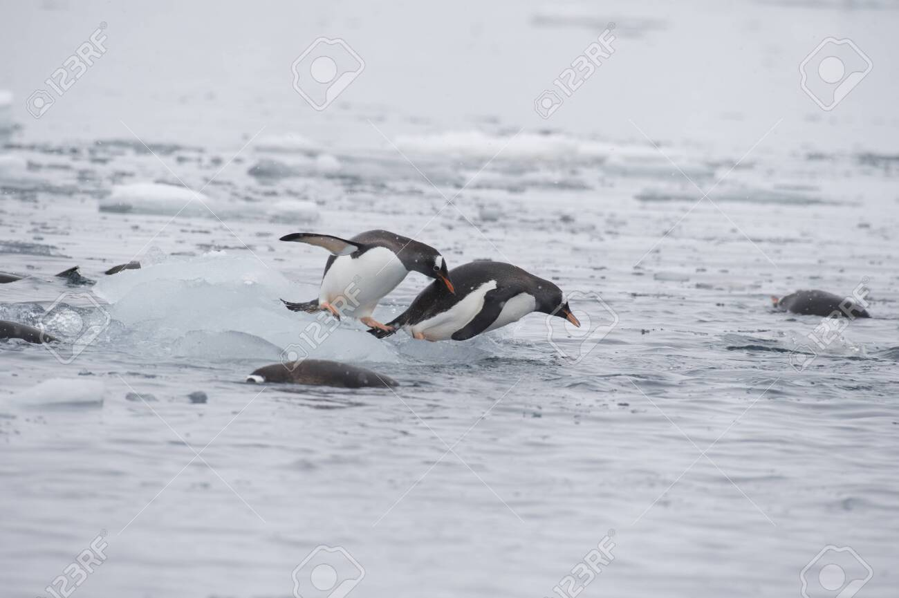 Gentoo Penguins on the ice - 143574132