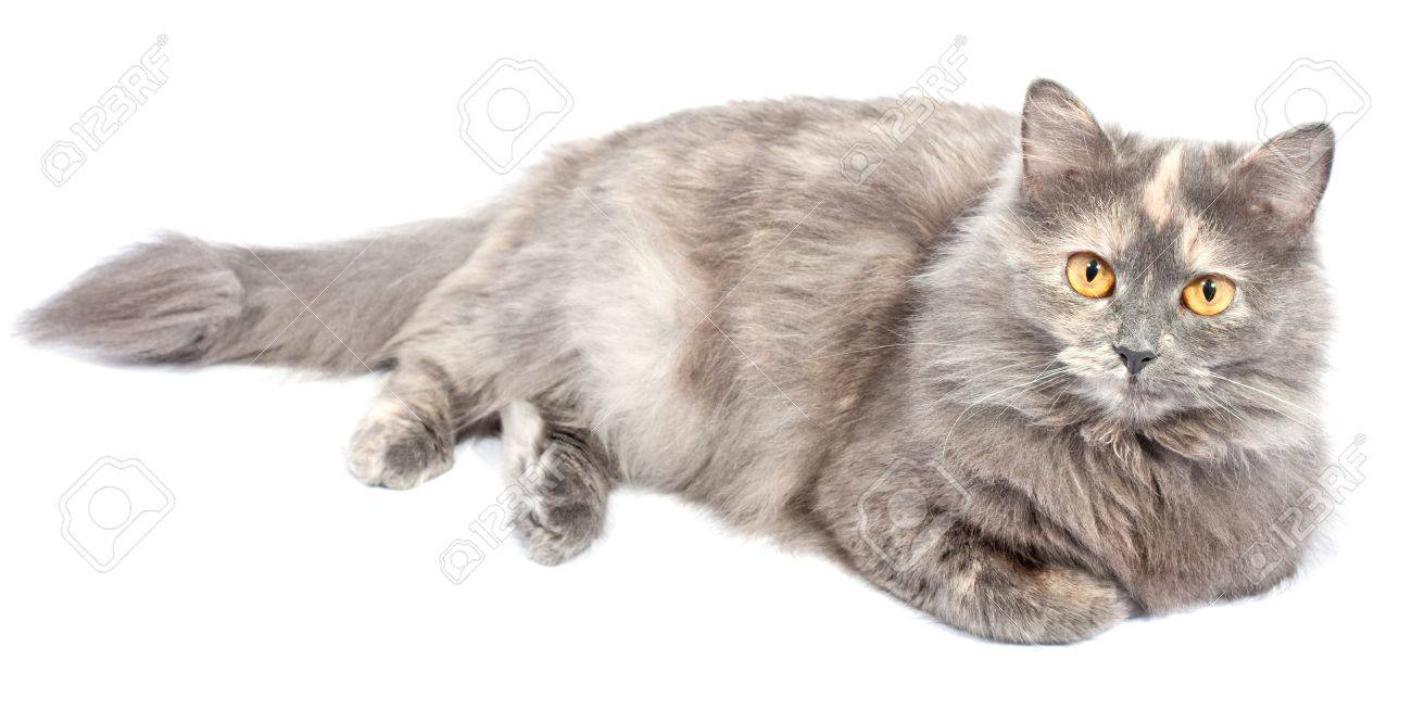 Norwegian Forest Cat lies on white background Stock Photo - 9698559
