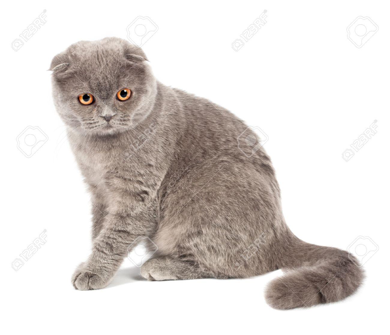 Scottish fold cat grey on white background Stock Photo - 9700830