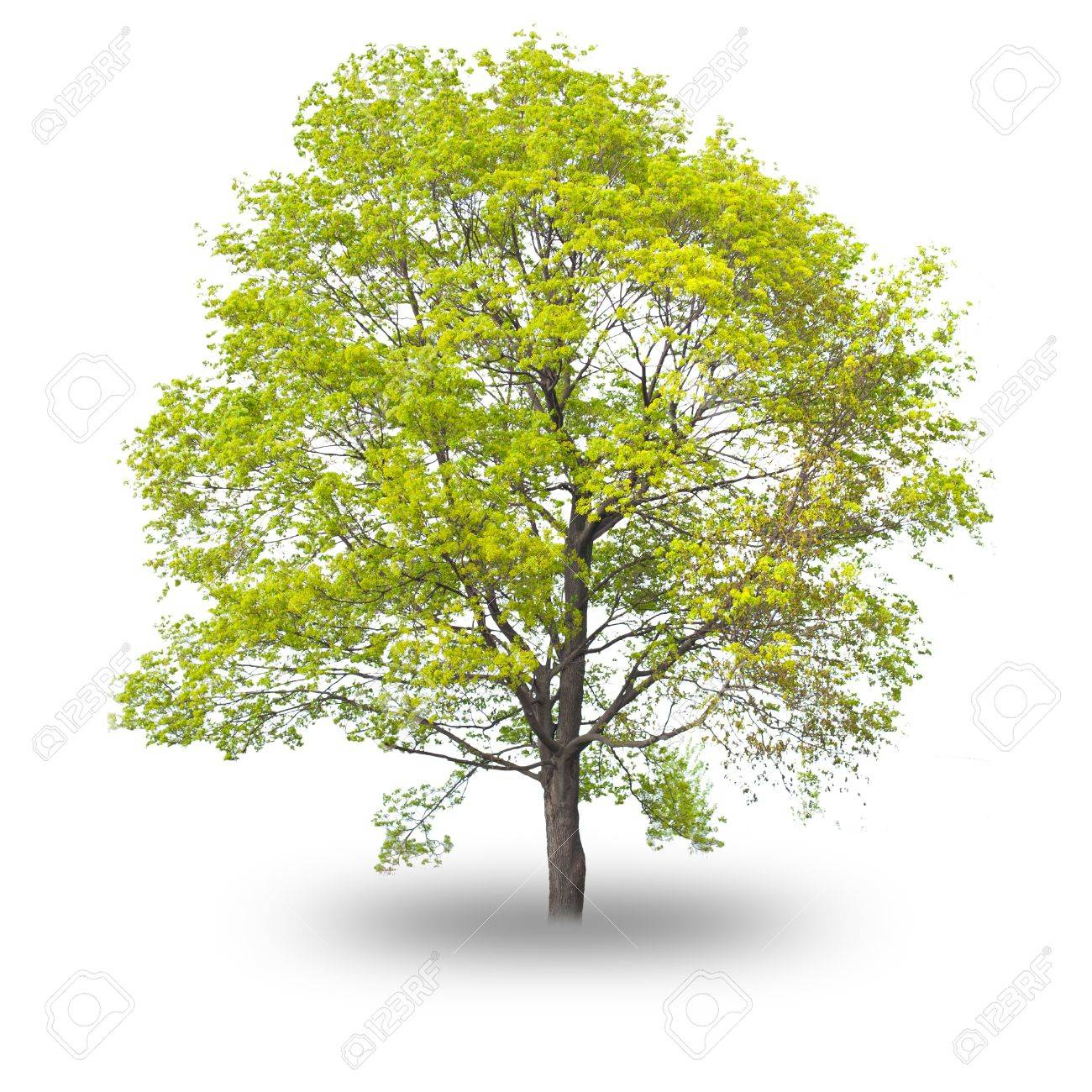 Single tree with shadow isolated on white background Stock Photo - 11042488