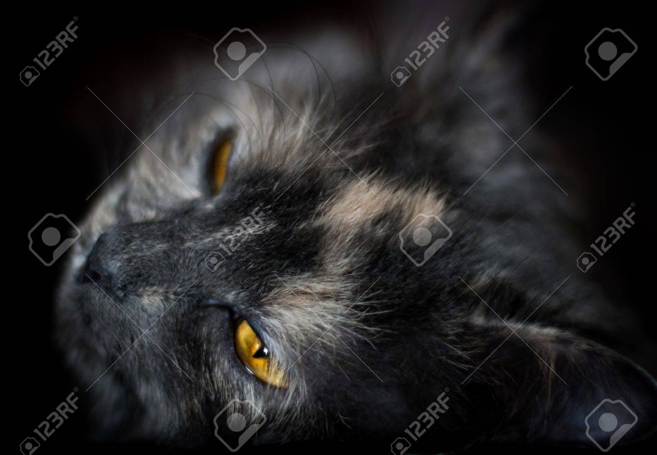 Beautiful portrait of a grey cat on a dark background Stock Photo - 13565181