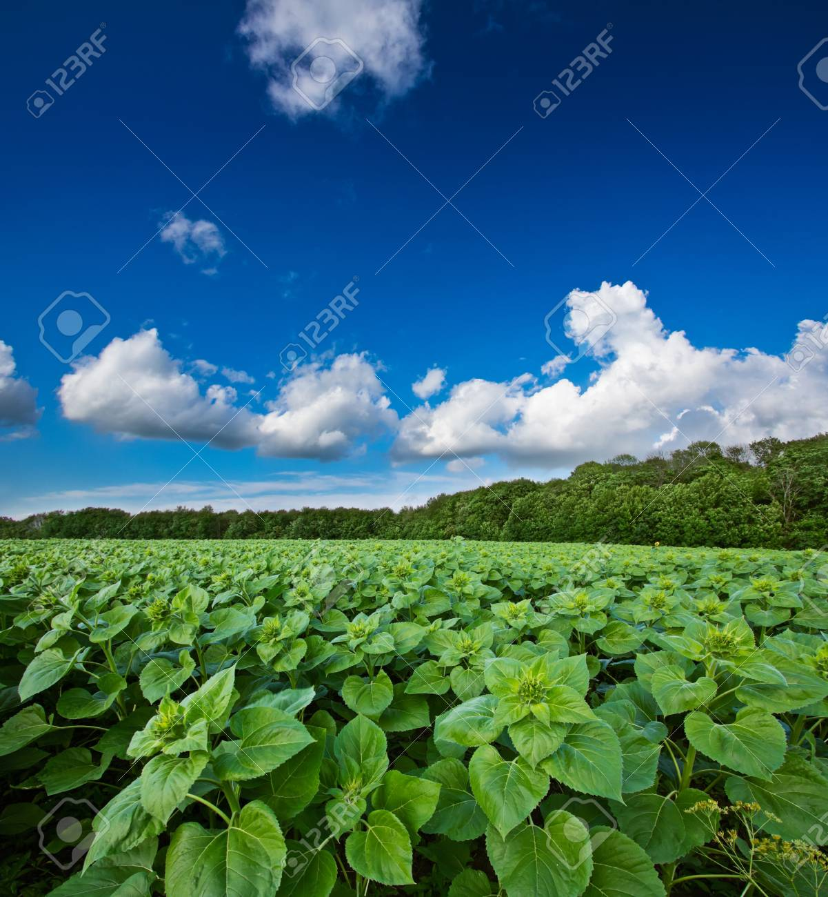 Green sunflower field over blue cloudy sky Stock Photo - 14532820