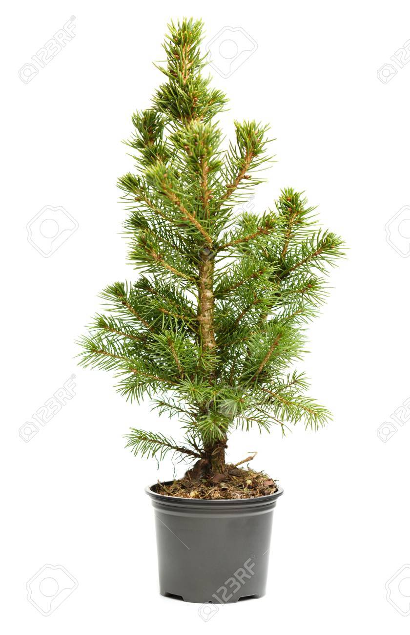 Real Weihnachtsbaum.Small Real Undecorated Bare Christmas Tree In A Pot Isolated