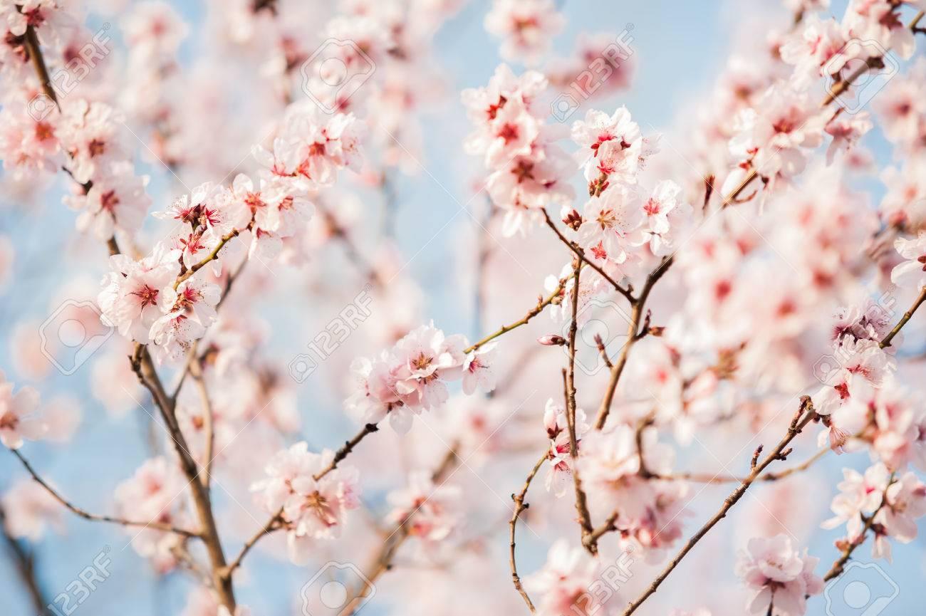 Wallpapers Fiori Sakura Ciliegia