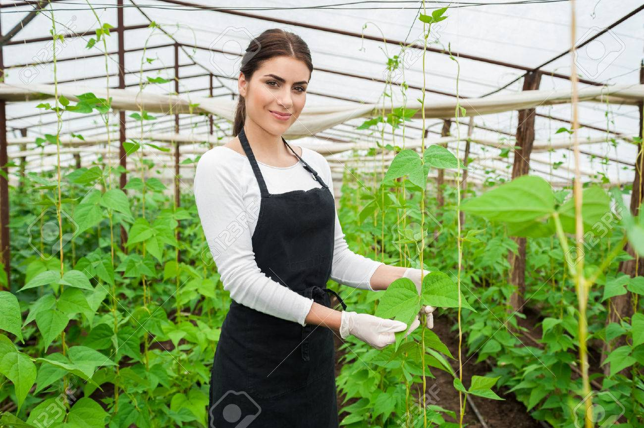 The greenhouse pr - Stock Photo Working With Pleasure Beautiful Young Woman In Uniform Gardening And Smiling At Camera Greenhouse Produce Food Production Tomato Growing In