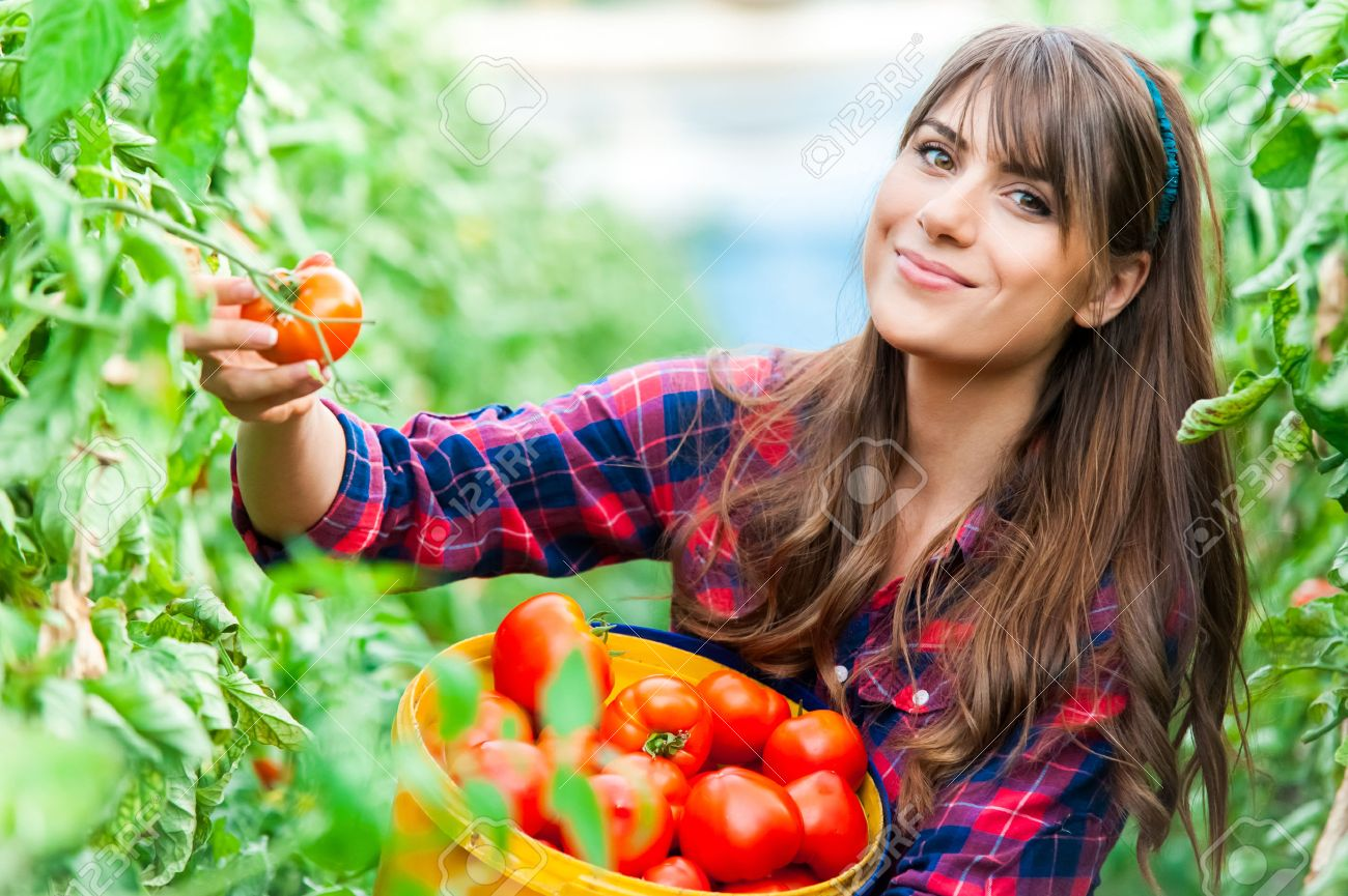 Young woman in a greenhouse with tomatoes, harvesting. - 41996887