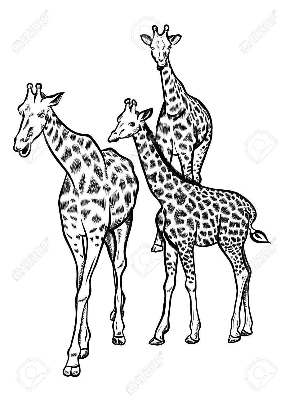 Giraffes in Love Drawing Giraffe Drawing Wildlife