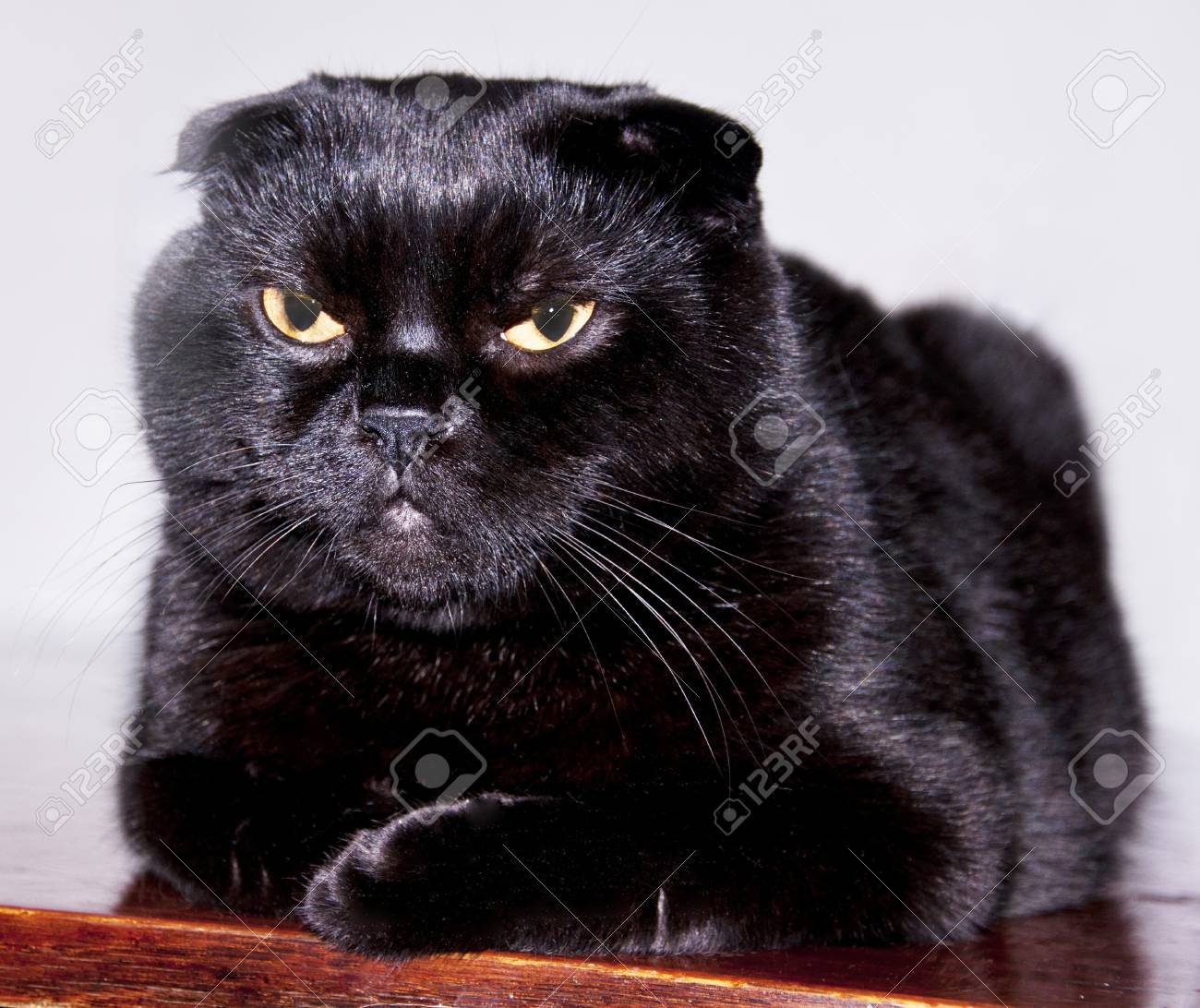 Black Cat With Small Ears Scottish Fold