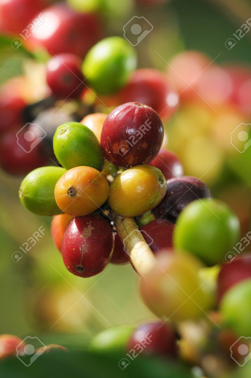 Picture of a coffee berries growing on plantation in Honduras Stock Photo - 10387125