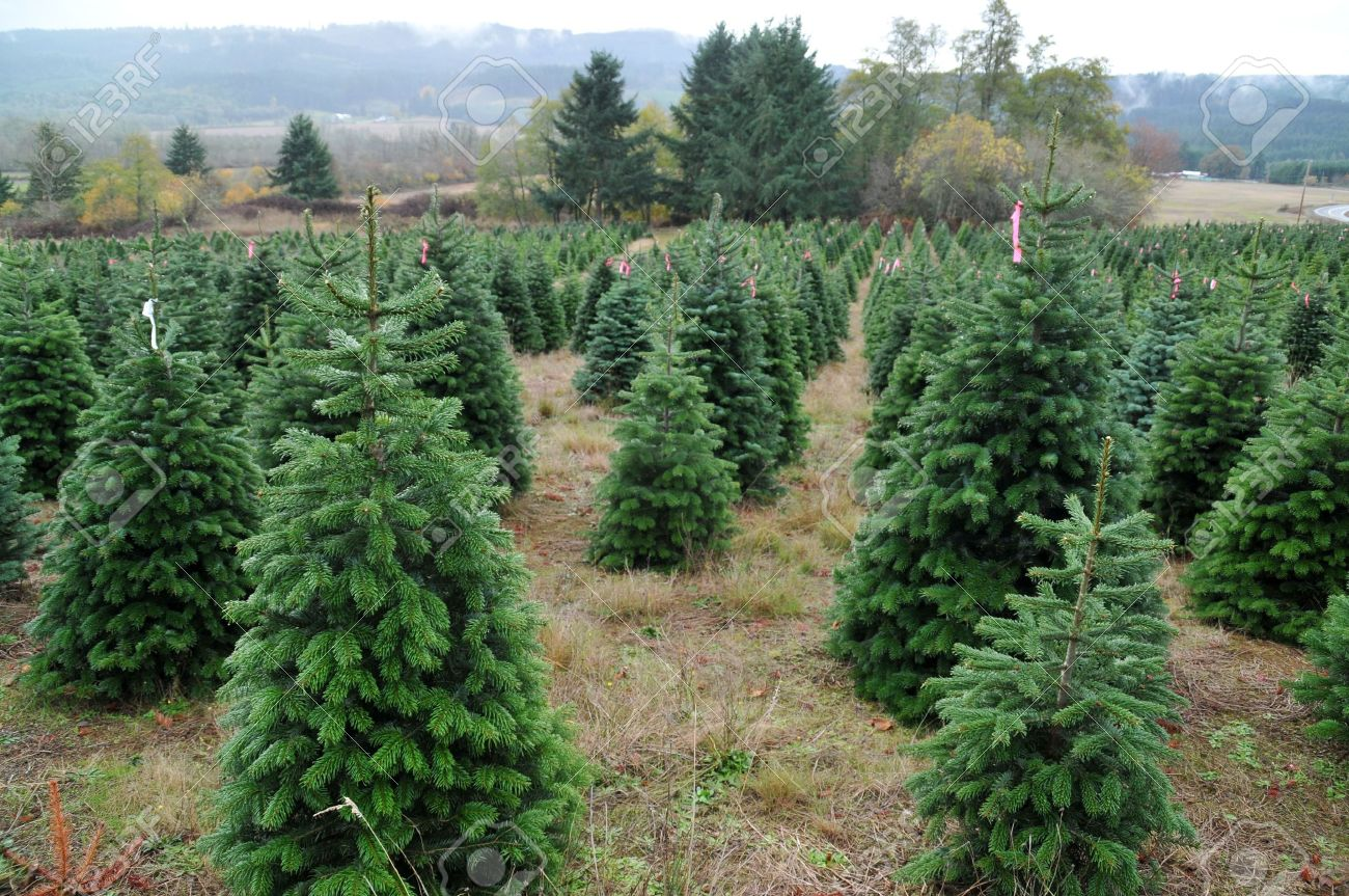 close up of a christmas tree farm in oregon stock photo 6045817 - Starting A Christmas Tree Farm