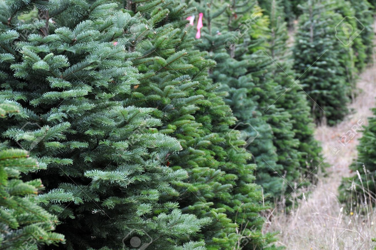 Close Up Of A Christmas Tree Farm In Oregon. Stock Photo, Picture ...