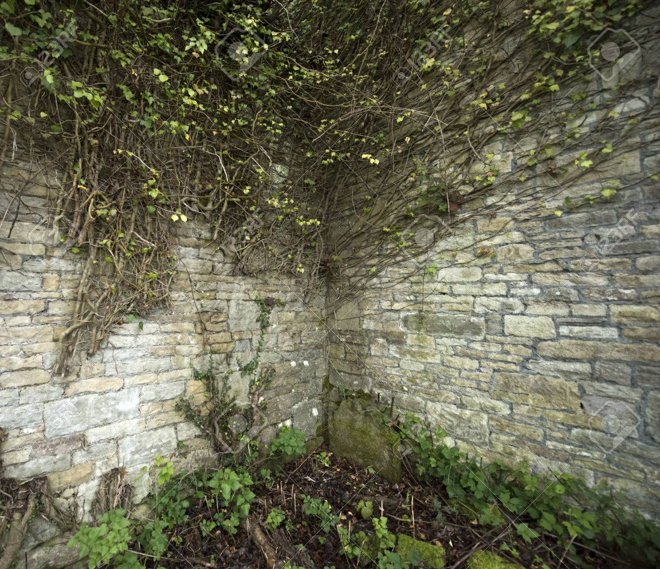 Wonderful Cobblestone Corner Wall With Ivy Vines Growing Over It Stock Photo    34557260