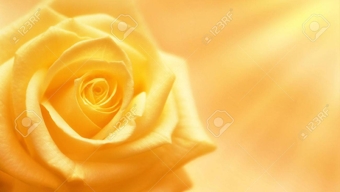 Yellow Rose Stock Photos Royalty Free Yellow Rose Images