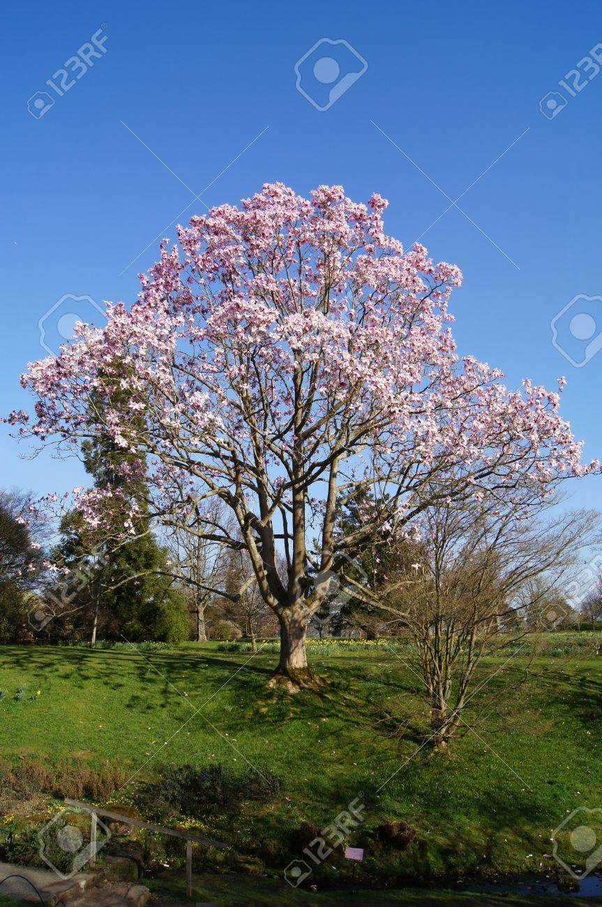 A Magnolia Tree In Full Bloom Stock Photo Picture And Royalty Free