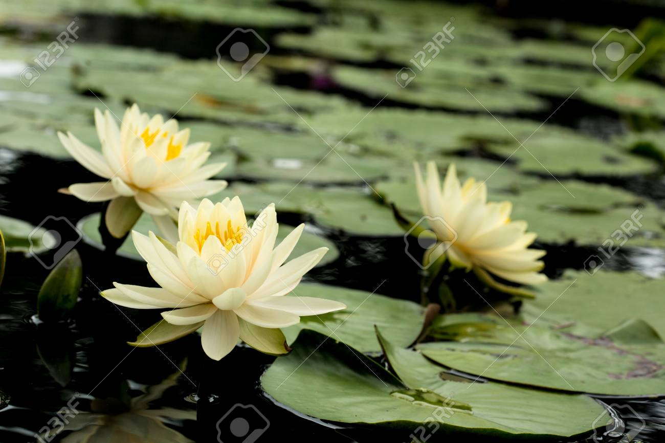 Yellow Lotus Flowers And Lotus Flower Plants Stock Photo Picture