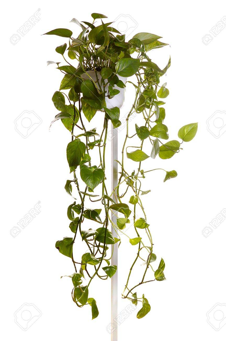 plant  growing in hanging pot isolated on white Stock Photo - 2314574