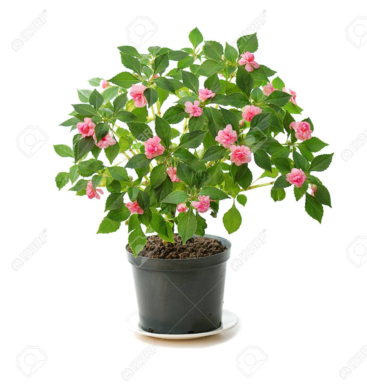 blooming pink flower in black pot isolated on white Stock Photo - 5031823