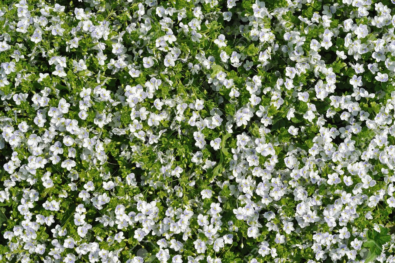 Floral Background Of Cover Plant Small White Flowers Between Stock
