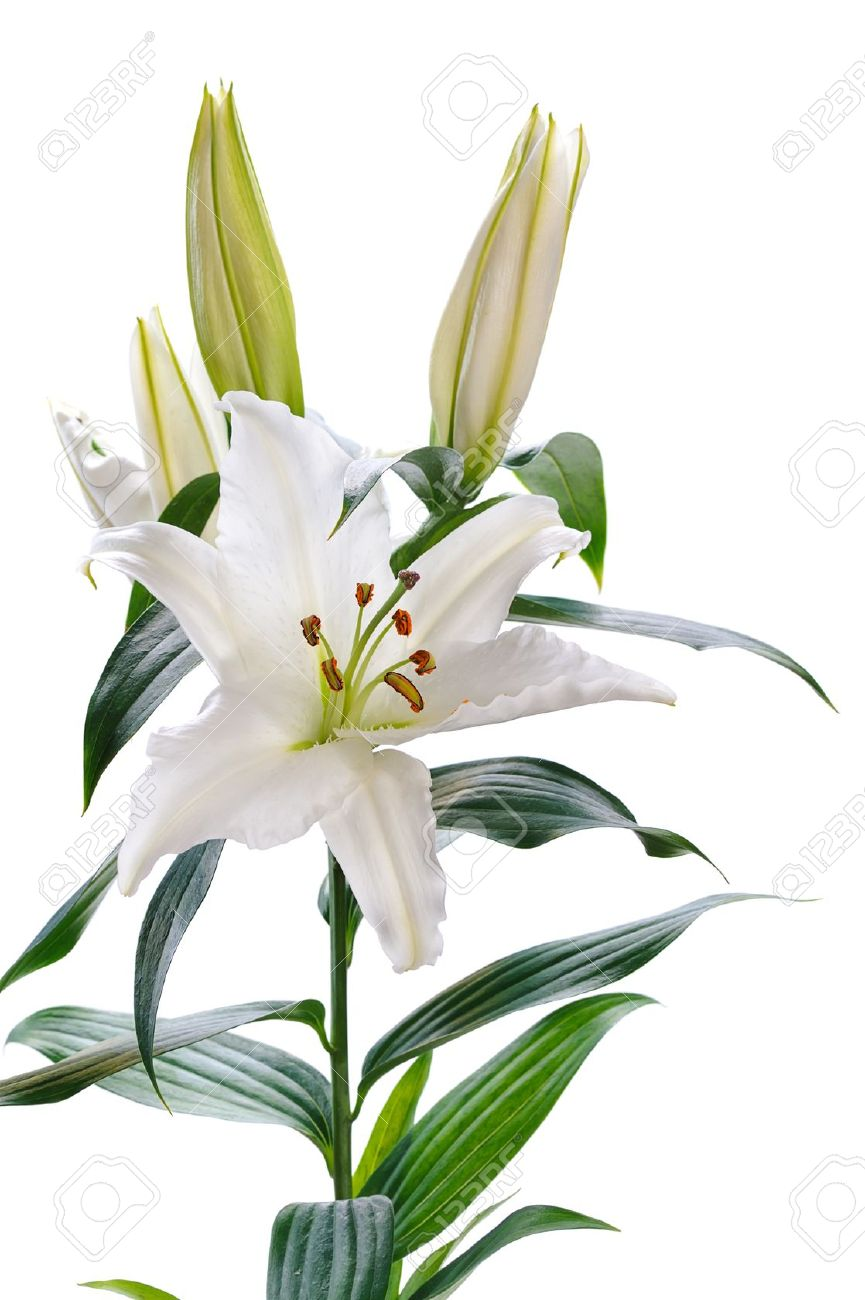 white lily  isolated on white background Stock Photo - 12639608
