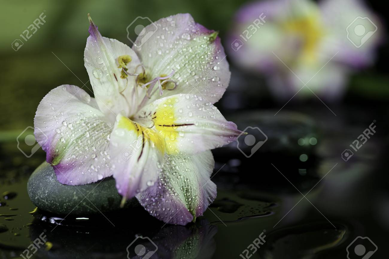 spa still life  flower on wet black bakground with stones Stock Photo - 18087646
