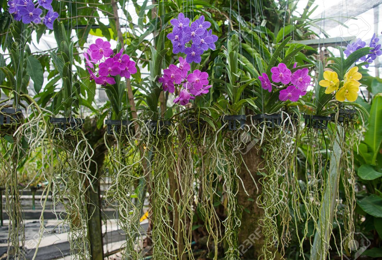 Orchids In Tropical Phuket Orchid Garden, Thailand Stock Photo   93753888