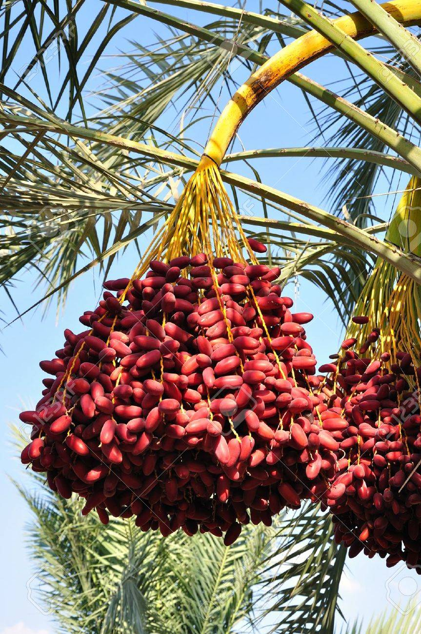 Date palm branch with ripe dates. Northern israel. Stock Photo - 10667847