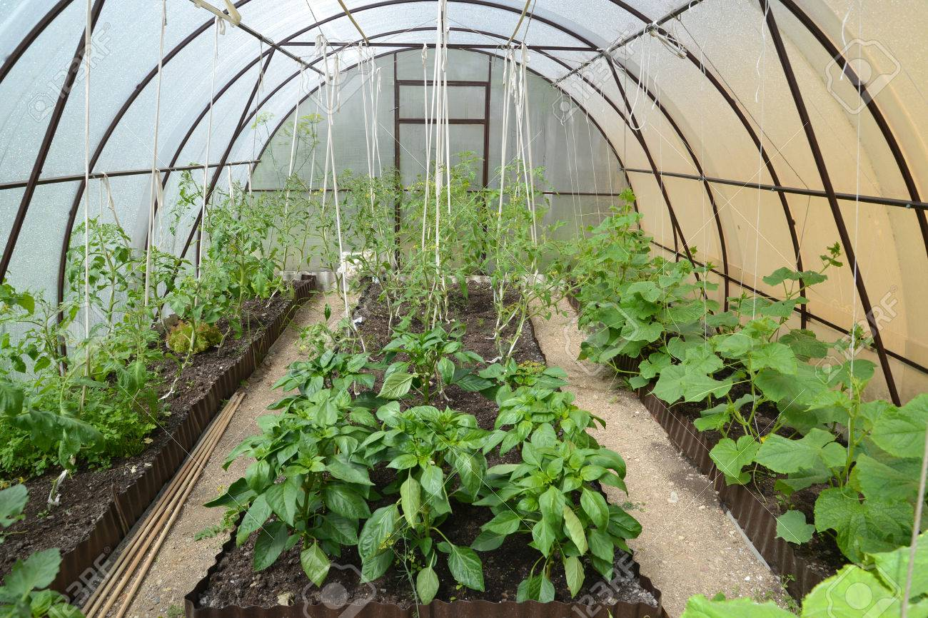Cultivation Of Vegetables In The Greenhouse From Cellular Polycarbonate  Stock Photo   29700470