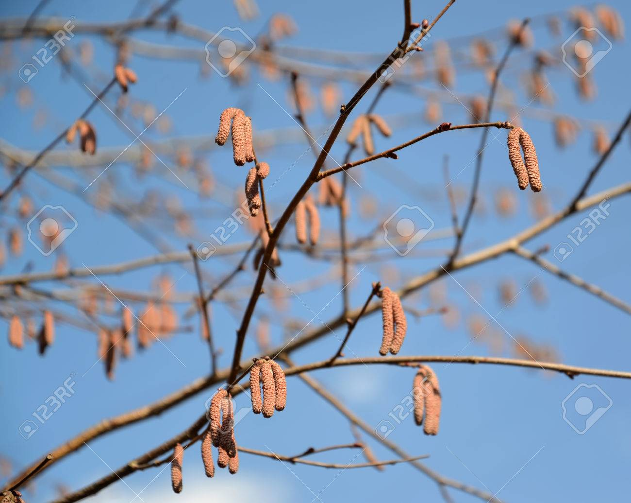 The Blossoming Common Hazel (hazel Grove), Form Purple. Corylus ...