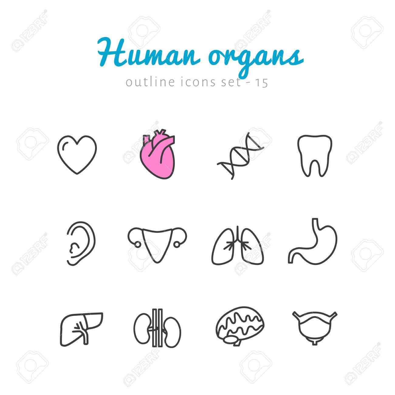 Menschliche Organe Symbole Gesetzt. Linear Flach Sammlung Von ...