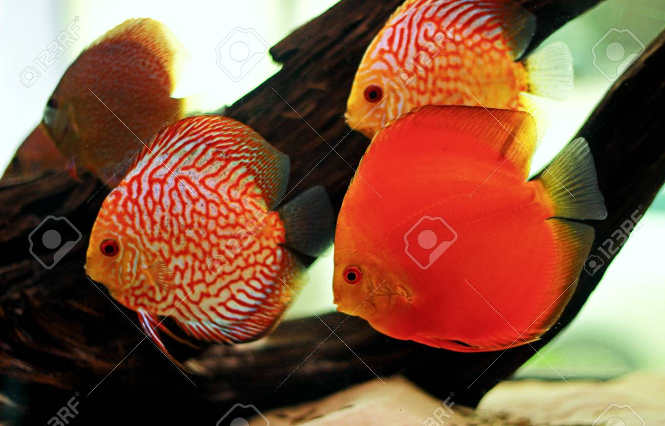 Discus Fish In Freshwater Aquarium Stock Photo, Picture And Royalty ...
