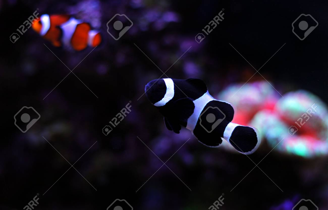 black ocellaris clownfish in aquarium stock photo picture and