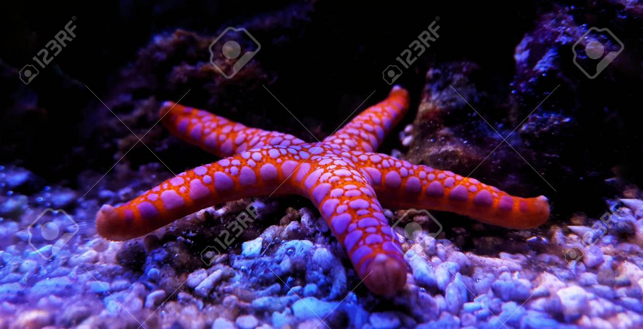 Fromia Seastar In Coral Reef Aquarium Tank Is One Of The Most