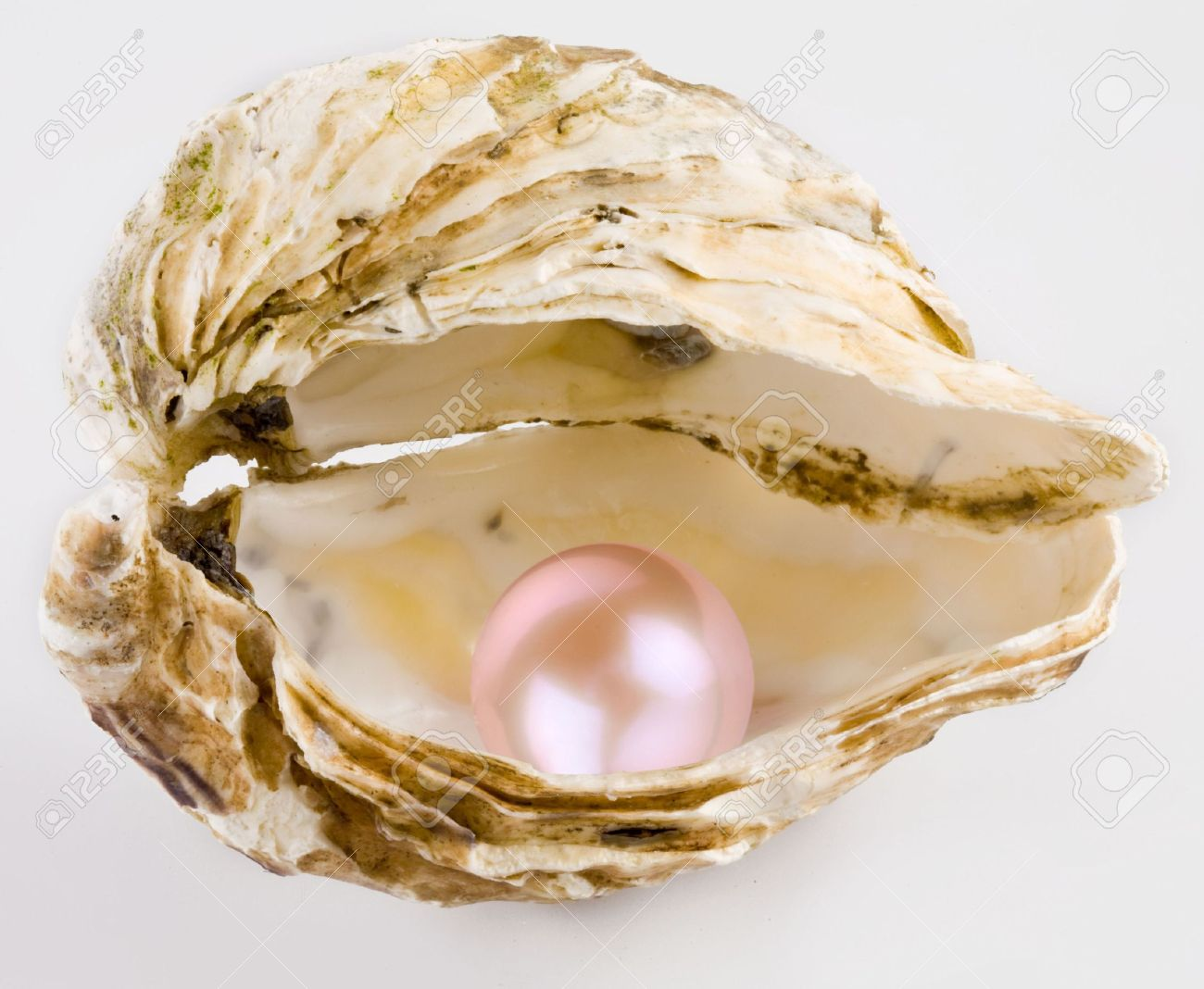 oyster  Pink pearl is in a Open Oyster Shell With Pearl