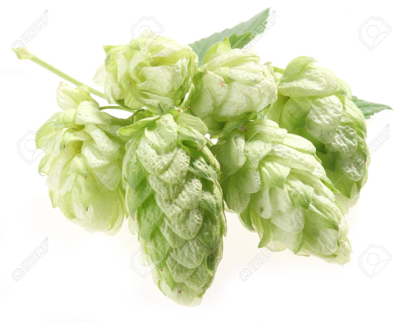 branch of hops on a white background Stock Photo - 7836440