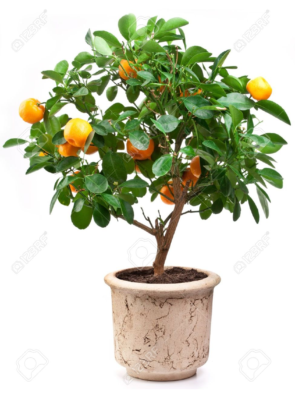 Small tangerines tree on white background. Stock Photo - 9737692