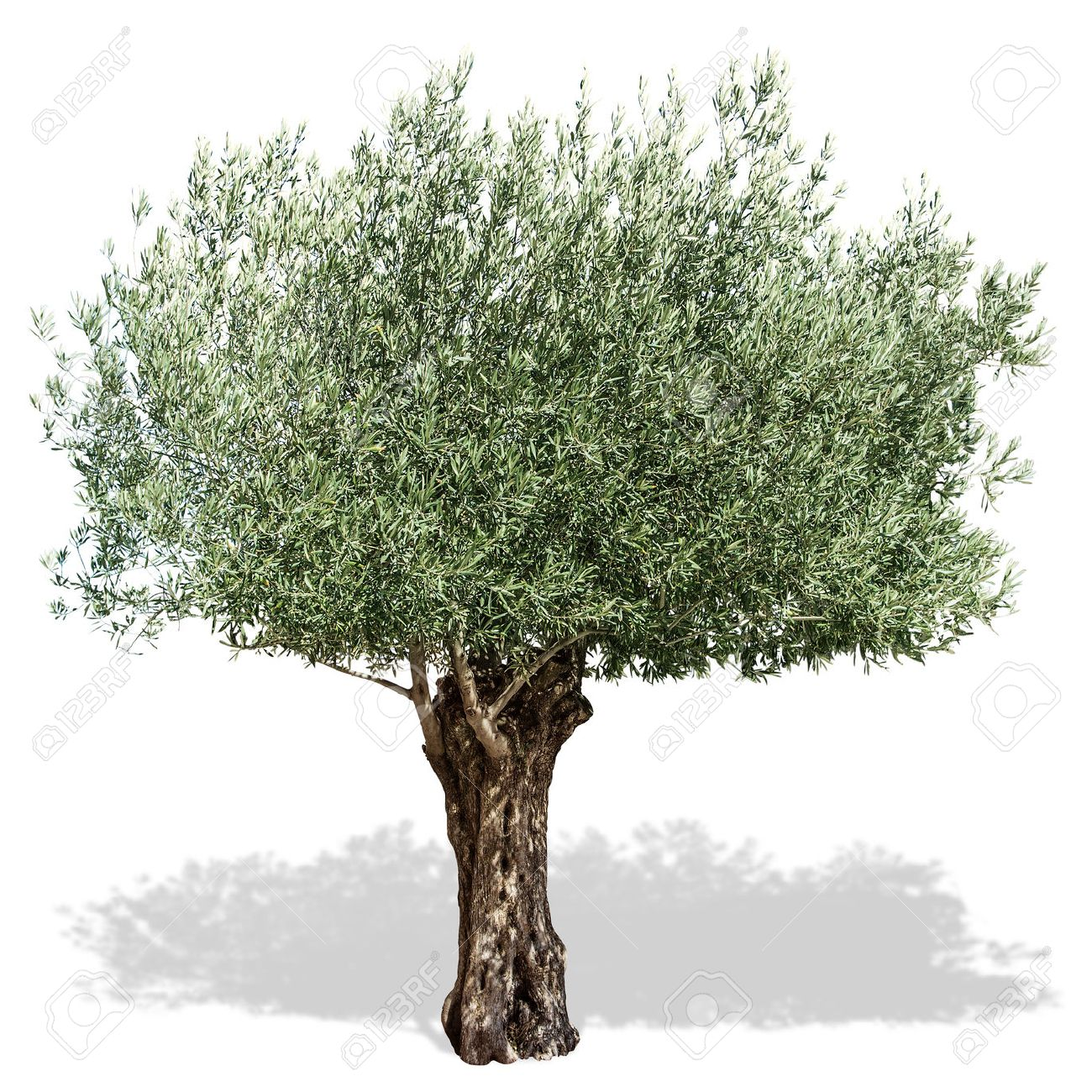 Olive tree  on a white background. Clipping path. Standard-Bild - 55719721