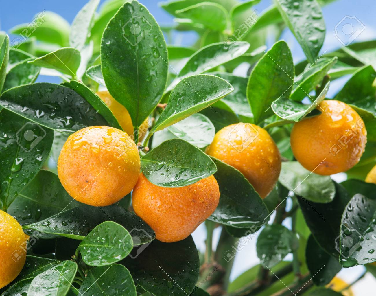 Ripe tangerine fruits on the tree. Blue sky background. Standard-Bild - 58735609