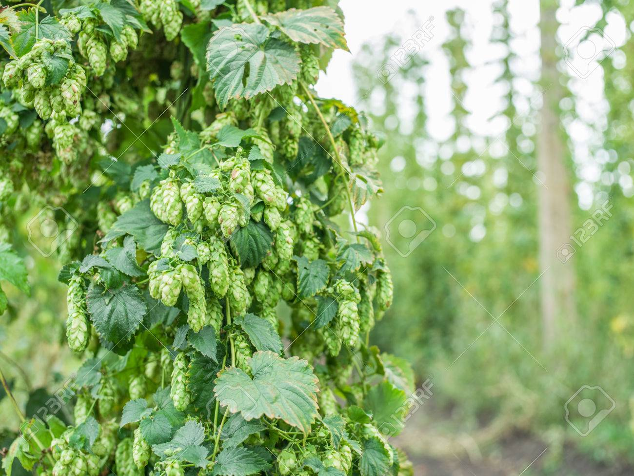hop yard stock photos royalty free hop yard images and pictures