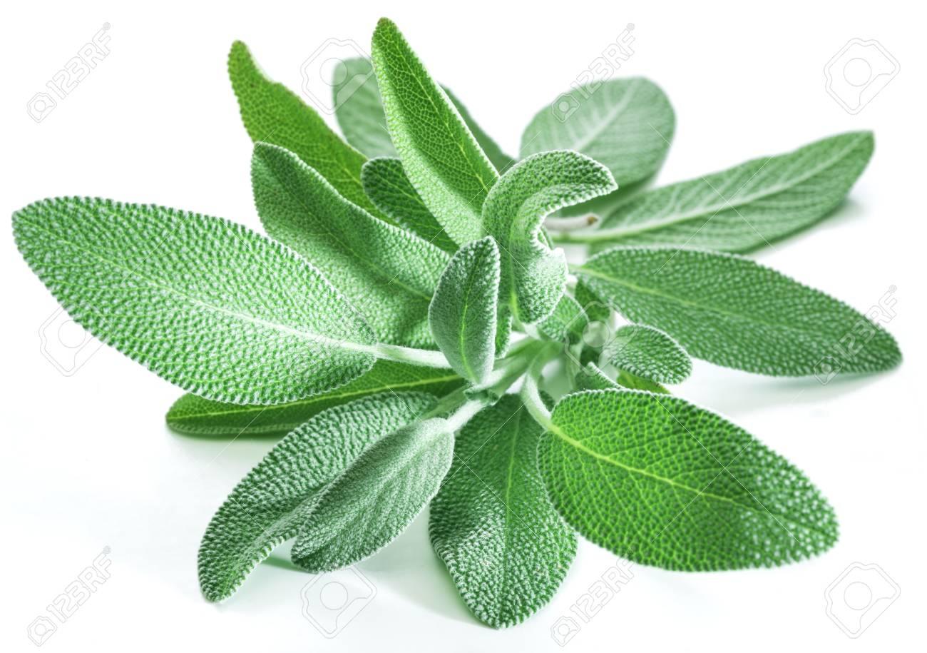 Fresh velvet leaves of garden sage on the white background. - 94138322