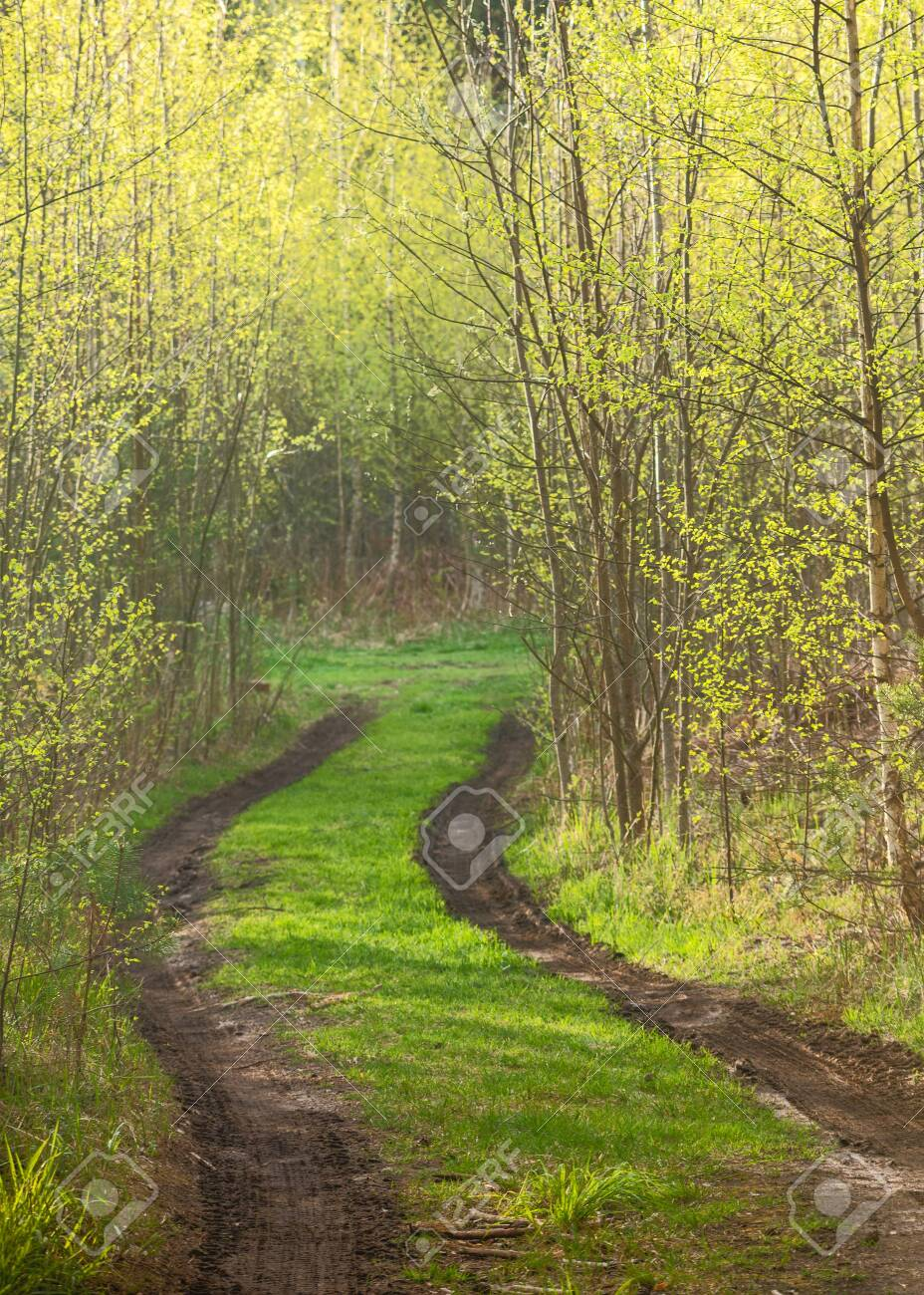 Forest path with spring mud among trees with young foliage - 147614199