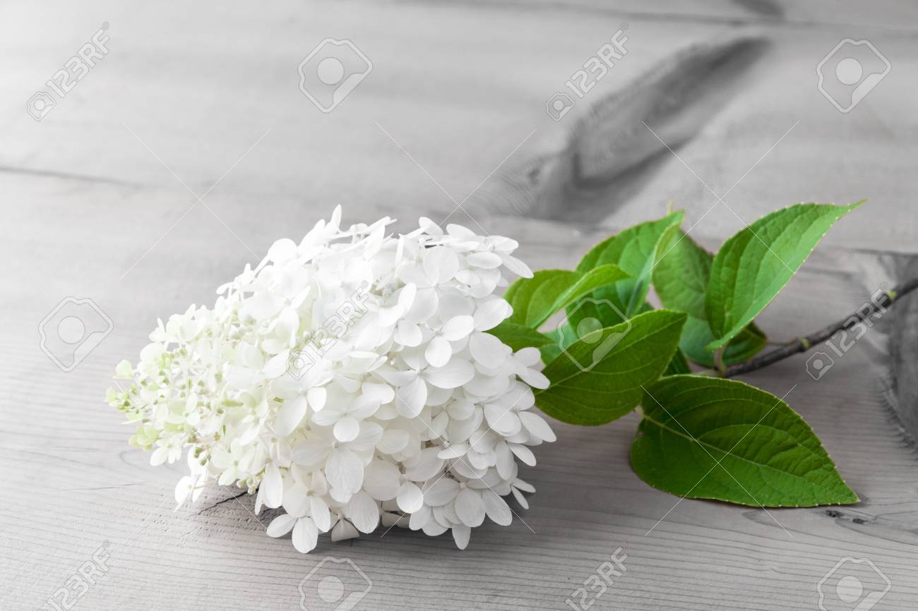 White Hydrangea Flower On Wooden Table With Copy Space Stock Photo
