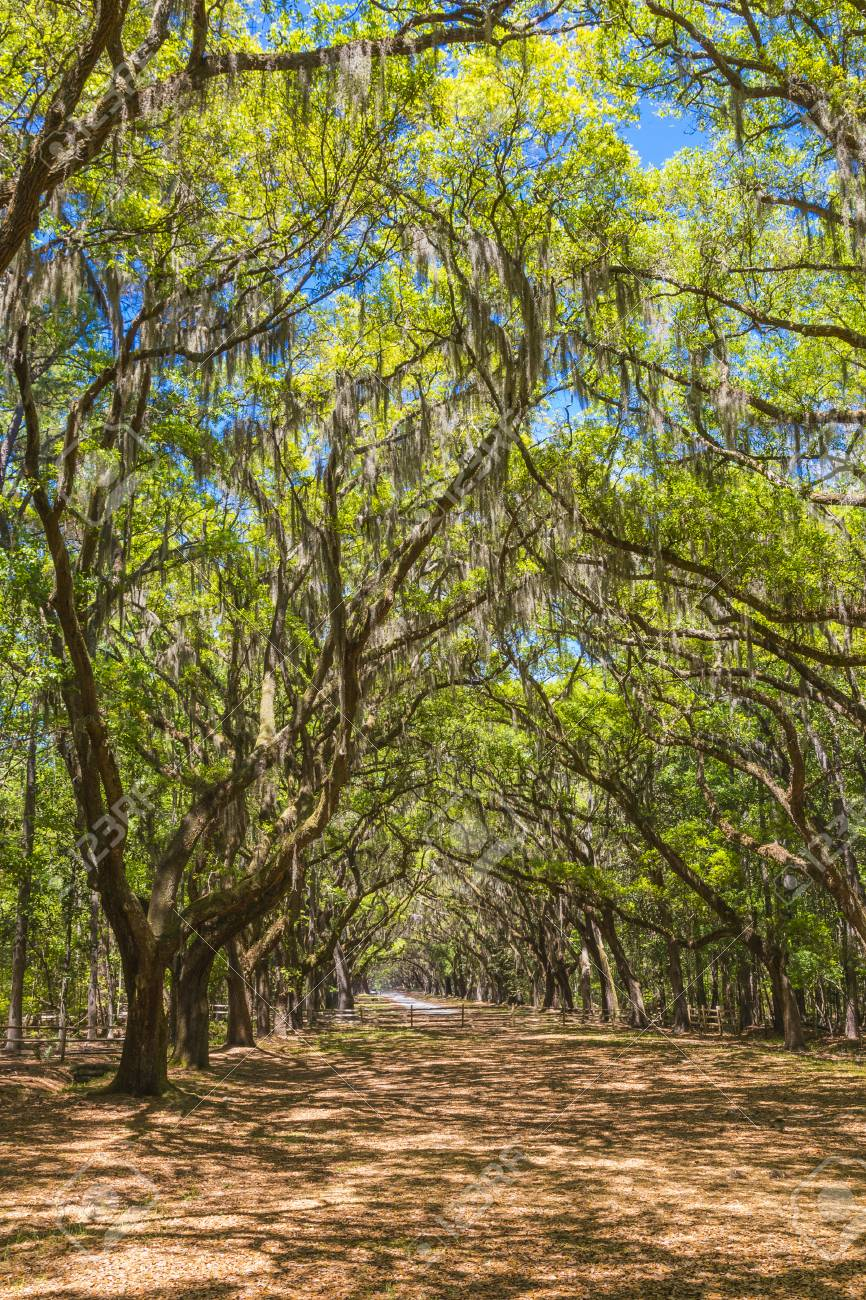 Canopy of old live oak trees draped in spanish moss at historic Wormsloe Plantation in Savannah & Canopy Of Old Live Oak Trees Draped In Spanish Moss At Historic ...