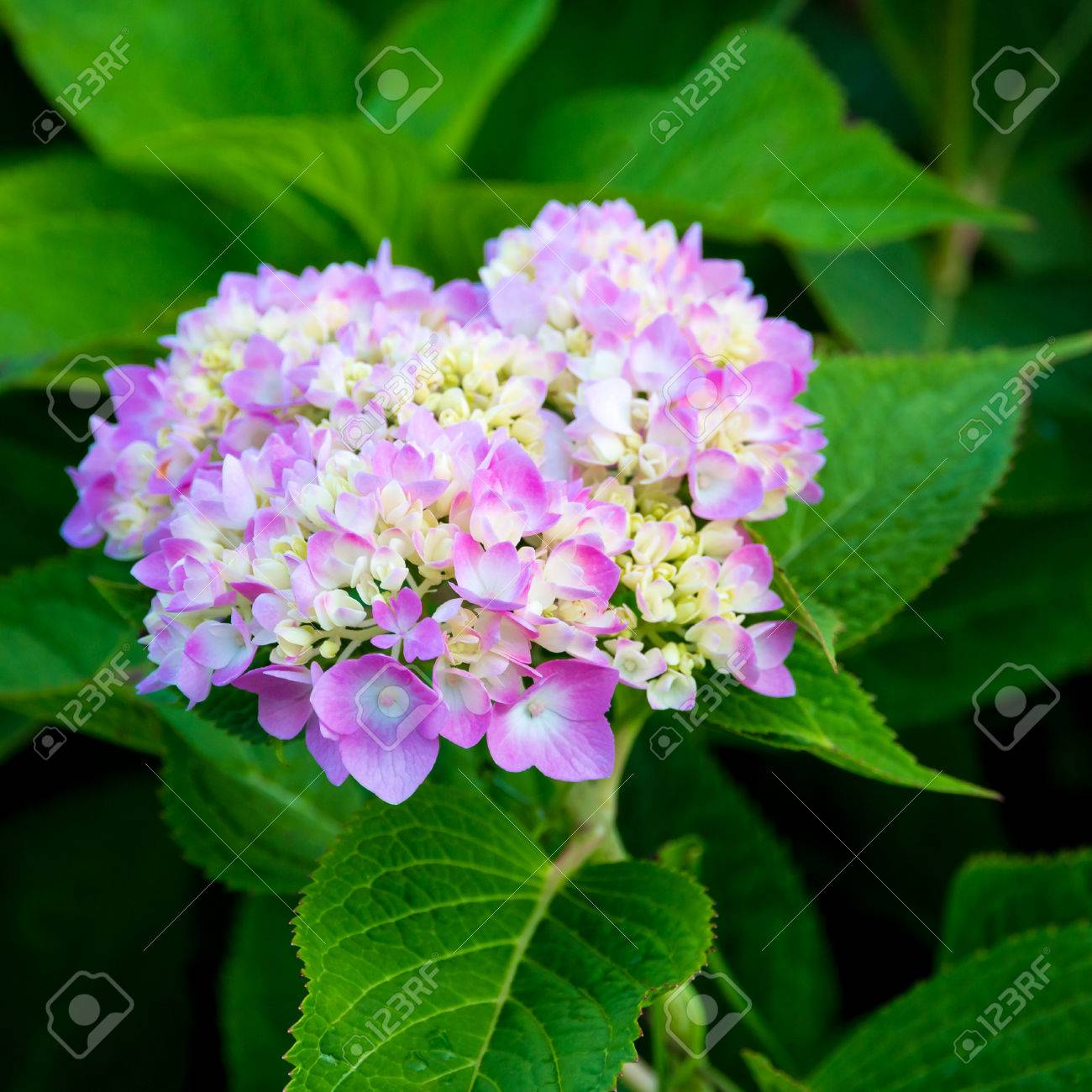 Pink White Hydrangea Flowers In A Garden Selective Focus Stock